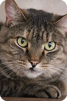 Domestic Shorthair Cat for adoption in Colorado Springs, Colorado - Kella