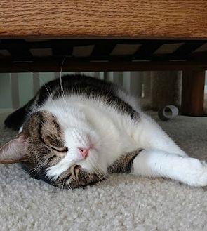 Domestic Shorthair Cat for adoption in St. Louis, Missouri - Virginia Rodriguez