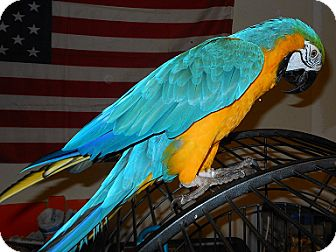 Macaw for adoption in Fountain Valley, California - Percy