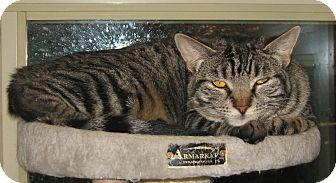 Domestic Shorthair Cat for adoption in Bulverde, Texas - Julie