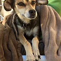 Chihuahua Mix Dog for adoption in Las Vegas, Nevada - Maggie