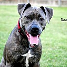 Adopt A Pet :: Sassy - Denton, TX