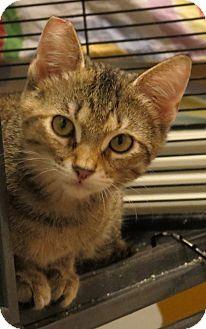 American Shorthair Kitten for adoption in Coldspring, Texas - Scottie