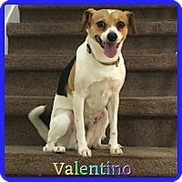 Adopt A Pet :: Valentino - Hollywood, FL