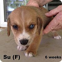 Adopt A Pet :: Mulan's pup Su - Tampa, FL