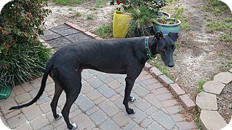Greyhound Mix Dog for adoption in Lexington, South Carolina - Dandy