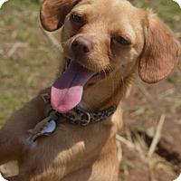 Adopt A Pet :: Snoopy - Vacaville, CA