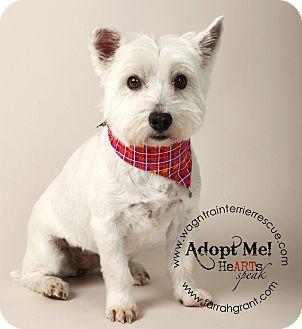 Westie, West Highland White Terrier Dog for adoption in Omaha, Nebraska - Cindy Lou