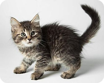 Domestic Mediumhair Kitten for adoption in Rockaway, New Jersey - Lover Boy