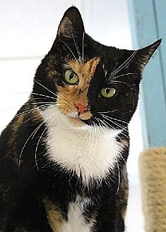 Domestic Shorthair Cat for adoption in New York, New York - Clover (Westhampton)