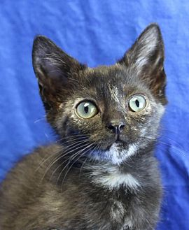 Domestic Shorthair Kitten for adoption in Winston-Salem, North Carolina - Choco