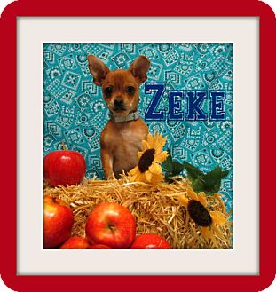 Pug Mix Puppy for adoption in Tracy, California - Zeke