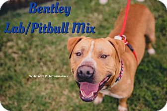 Pit Bull Terrier/Labrador Retriever Mix Dog for adoption in Cheney, Kansas - Bentley