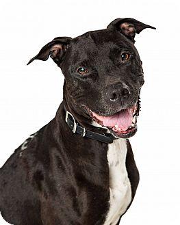 Greyhound/Pit Bull Terrier Mix Dog for adoption in Mesa, Arizona - Dee Dee