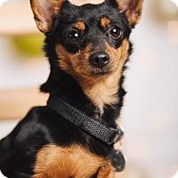 Adopt A Pet :: Maisy - Portland, OR