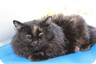 Domestic Longhair Cat for adoption in Brunswick, Georgia - Calypso