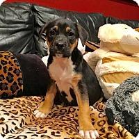Adopt A Pet :: Abbie - Thompson, PA