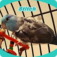 Adopt A Pet :: Stitch - Tampa, FL