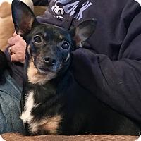 Adopt A Pet :: CheryPie - ST LOUIS, MO