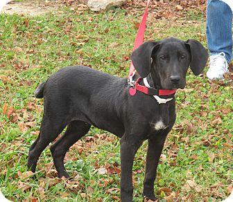 Great Dane/Hound (Unknown Type) Mix Puppy for adoption in Washington, D.C. - Blitzen