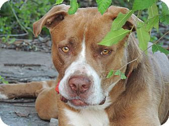 American Staffordshire Terrier Mix Dog for adoption in Houston, Texas - Lightnin'