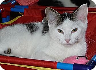 American Shorthair Cat for adoption in Palatine, Illinois - Binky