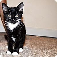 Adopt A Pet :: Socks - Xenia, OH