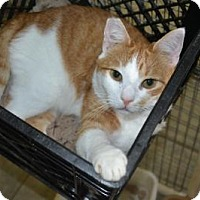 Domestic Shorthair Cat for adoption in East Smithfield, Pennsylvania - Cadbury