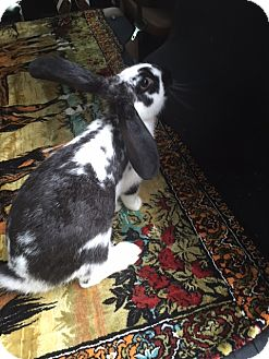 Lop-Eared Mix for adoption in Williston, Florida - Snookie