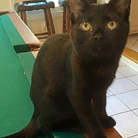 Domestic Shorthair Kitten for adoption in Burlington, North Carolina - FRIDA