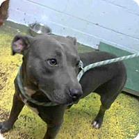 American Pit Bull Terrier Mix Dog for adoption in Atlanta, Georgia - LOUIE