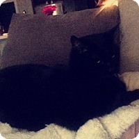 Domestic Shorthair Cat for adoption in Cincinnati, Ohio - Samurai   Courtesy Posting