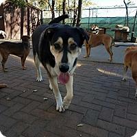 Adopt A Pet :: Baby Blue - Mt Prospect, IL
