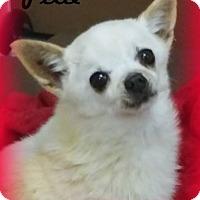 Chihuahua/Pomeranian Mix Dog for adoption in Anaheim Hills, California - Pixie