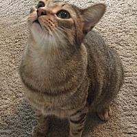 Adopt A Pet :: Caitlyn - O'Fallon, MO