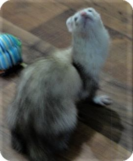 Ferret for adoption in Hartford, Connecticut - Firefly the Porpoise