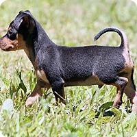 Adopt A Pet :: Suga Ray~adopted! - Glastonbury, CT