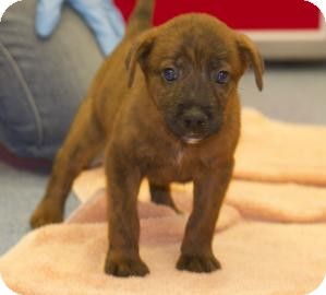 Shepherd (Unknown Type)/Chow Chow Mix Puppy for adoption in Gainesville, Florida - Paxton