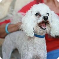 Adopt A Pet :: Cupid - Canoga Park, CA