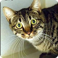 Domestic Shorthair Cat for adoption in Ottumwa, Iowa - Eve