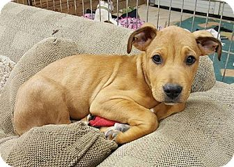 American Bulldog/Shepherd (Unknown Type) Mix Puppy for adoption in Lawrenceville, Georgia - Bailey