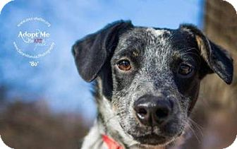 Blue Heeler Dog for adoption in New Milford, Connecticut - Bo