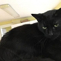 Domestic Shorthair Cat for adoption in Chicago, Illinois - Fang and Fluffy