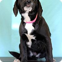 Adopt A Pet :: Lainie - Waldorf, MD