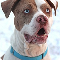 American Bulldog Mix Dog for adoption in Lafayette, Indiana - Brad Pit