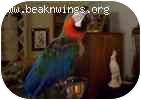 Macaw for adoption in Lenexa, Kansas - Rocky