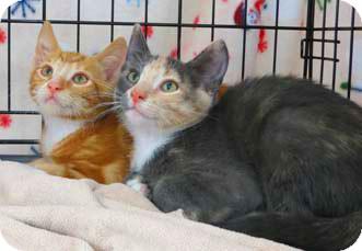 Domestic Shorthair Kitten for adoption in Merrifield, Virginia - Truffles