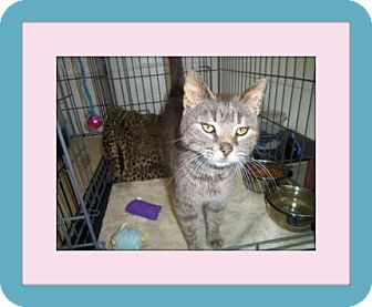 Domestic Shorthair Cat for adoption in Medford, Wisconsin - ABIGAIL