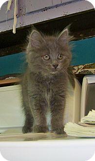 Domestic Longhair Kitten for adoption in Dover, Ohio - Sky