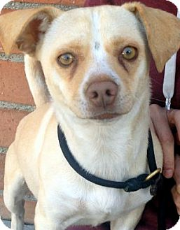 Beagle Mix Dog for adoption in Los Angeles, California - ARGO (video)